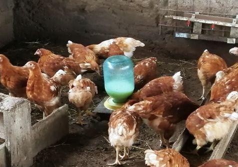 Молочная сыворотка цыплятам