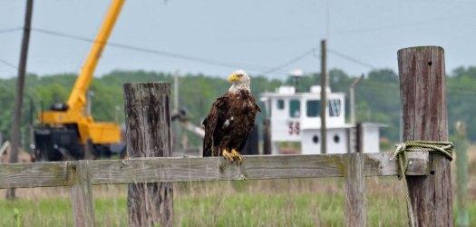 eagle-on-A-Dock-(3).jpg