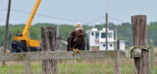 eagle-on-A-Dock-(3)
