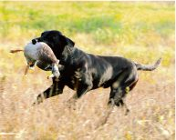 Joker Male Labrador Retriever
