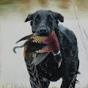 Flint Labrador Retriever Stud Services available