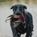 Flint Labrador Retriever Stud Services available