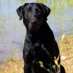 Flint Male Labrador Retriever