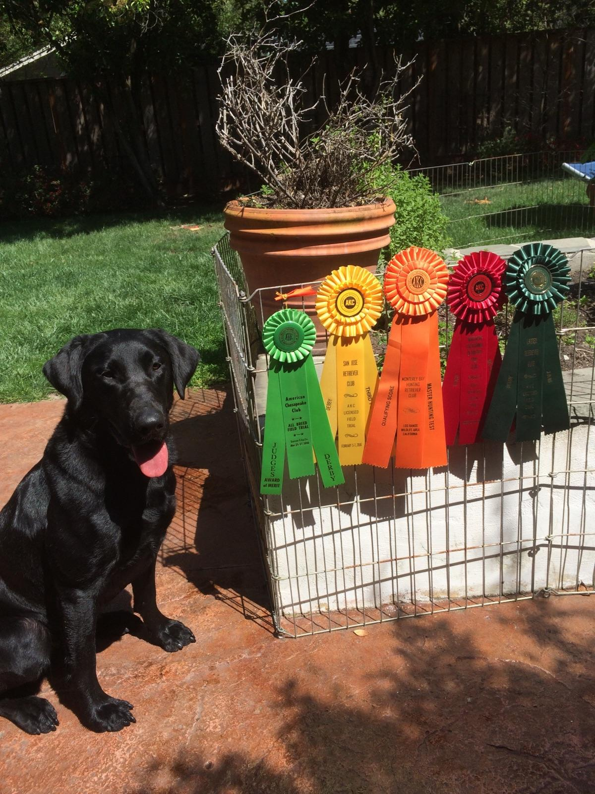 AKC Field Trials Archives - BAYSIDE LABRADORS Field and