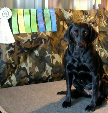 Obedience & CGC Labrador Retriever Training