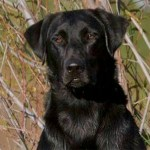 Otis Labrador Retriever Stud Services Available