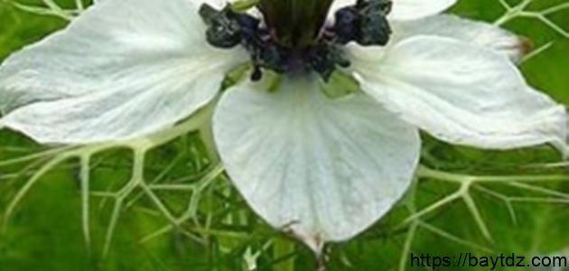 فوائد زيت الحبة السوداء للبشرة