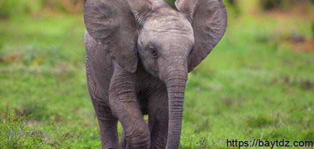 ماذا يسمى صغير الفيل
