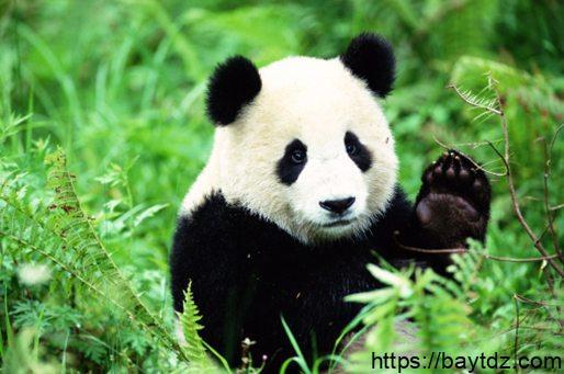 ما هو حيوان الباندا