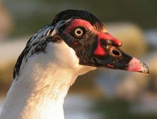 دراسة جدوى مشروع مزرعة البط المسكوفي وارباح ضخمة سنوياً