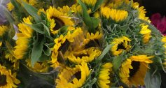 Sunflowers in bloom at Longo's