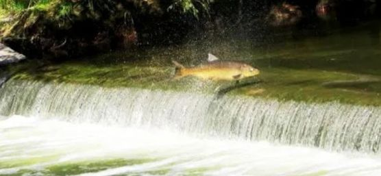 Salmon snapped by Bob Arsenault of Bayview Ave as he and his wife walked near Pottery Road in 2015