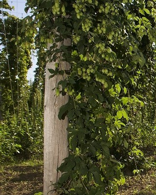 UT Extension Offers Workshops about Growing Hops as a Specialty Crop