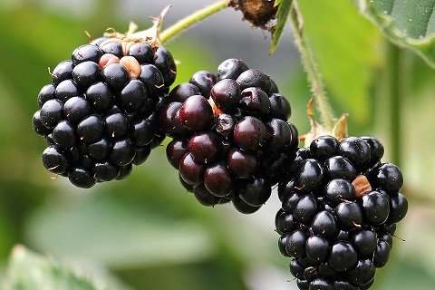 UT Gardens' March 2019 Plant of the Month: Blackberries