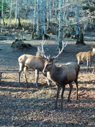 Os huemules são cervos sul andinos que correm risco de extinção