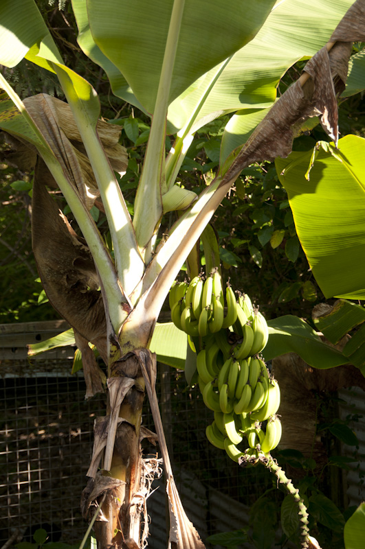 Bananas growing just behind the pool area.