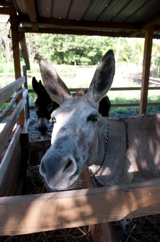 Daisy the donkey.