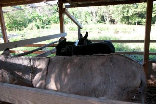 Mary and Georgie, the donkeys.