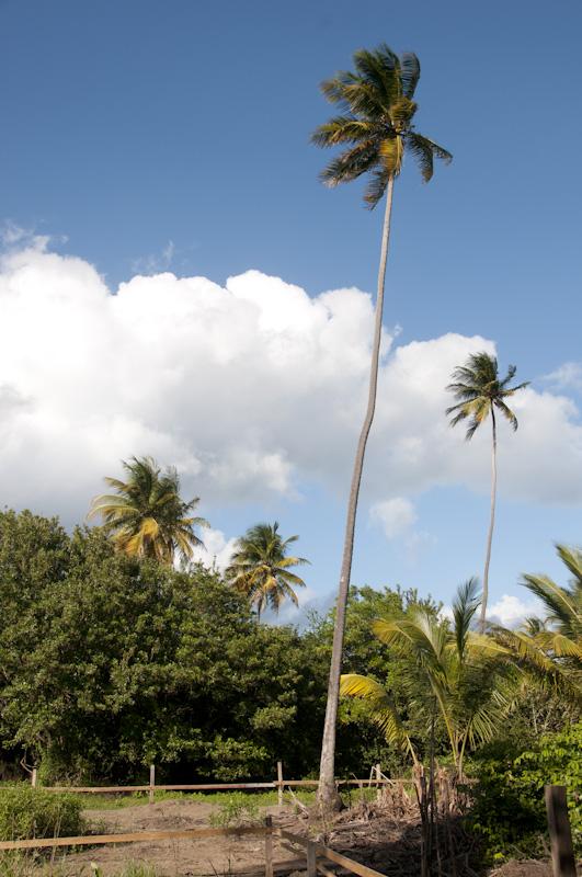 Coconut palms on the villa property.