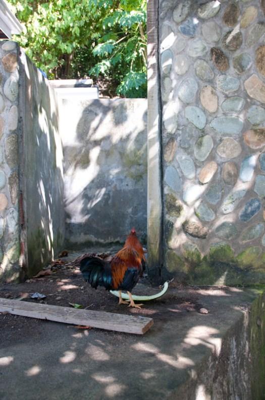 A Little Tobago island guard chicken.