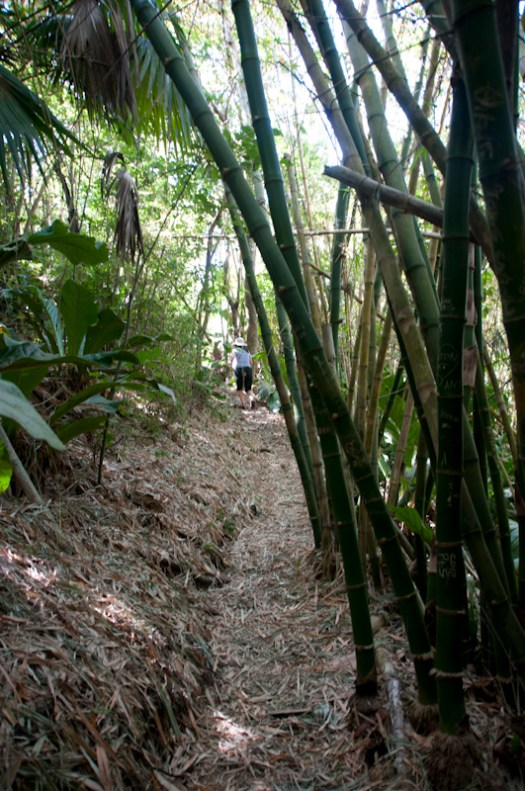 A copse of bamboo on Little Tobago.