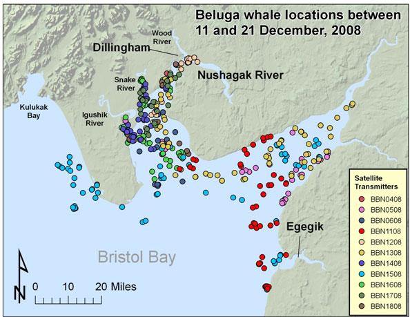 Belugas December 2008