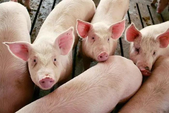 varkensboerderij