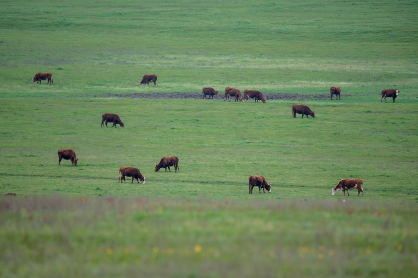 Cattle spread out grazing in a meadow