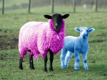 funny colorful sheep
