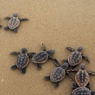 Sea Turtles Laying Their Eggs