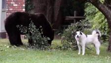 Dog barks at bear
