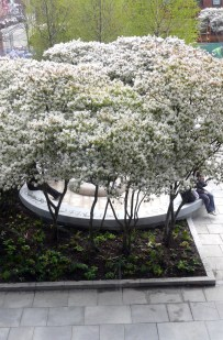Amelanchier in bloom