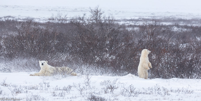 Polar bears in Churchill MB