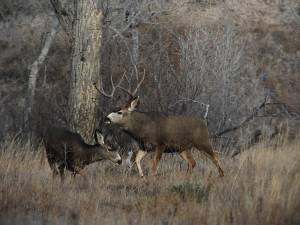 Largest of the 3 native deer species. Antlers grow in forked pairs, white rump with black-tipped tail, and large ears. Not easily startled, may look back when running for cover. Run with high stiff-legged bounce.