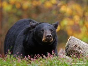 An online study guide to help you stay safe in the bear country of BC