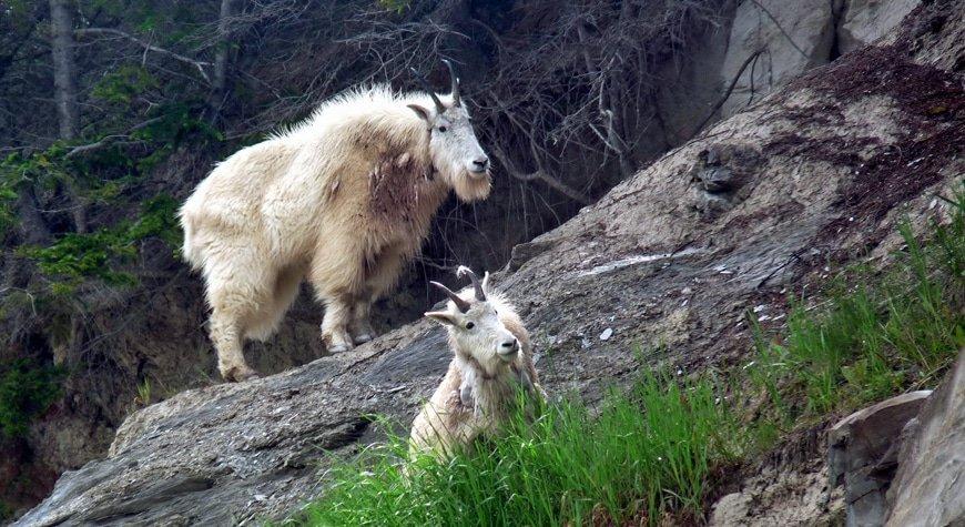 BC Animal Identification CORE Bovid