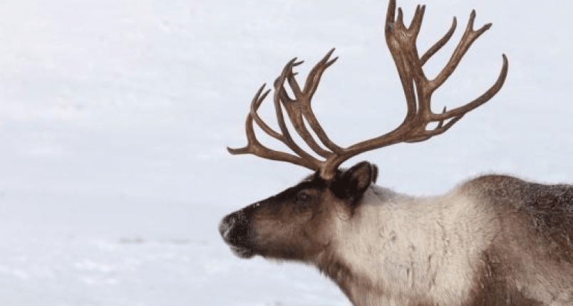 BC Animal Identification CORE Caribou