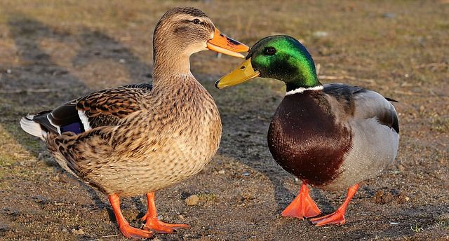BC Animal Identification Dabbling Ducks
