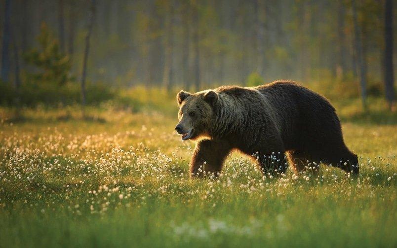 BC Animal Identification CORE Ursid