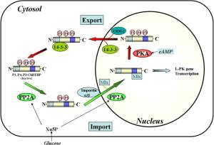 Proposed nuclear/cytosolic trafficking pathways of ChREBP.   J. Biol. Chem. 2013;288:28368