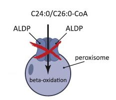 Figure 1: ABCD1 (ALDP) normally takes VLCFA like C24/C26 into the cell for beta-oxidation. Mutations in the ABCD1 lead to this not happening. (Kemp et al., 2012)