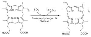 Figure 2. Synthesis of protoporphyrinogen IX by protoporphyrinogen oxidase, the enzyme mutated in variegate porphyria