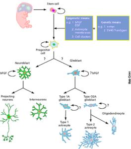 Diagram of Neuron Differentiation, google images