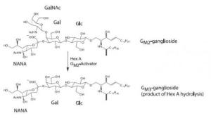 This shows the reaction catalyzed by HexA with the GM2 Activator Protein being an important cofactor.