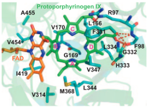 Figure 3. Crystal structure showing the binding of protoporphyrinogen IX to the active site of PPOX. Source: Qin, 2011.