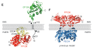 Figure 5. Comparison of the new (left) and old (right) models of PPOX binding to the intermitochondrial membrane. Source: Rhee, 2013.