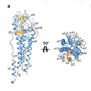 The crystal structure of VlsE obtained by Eicken et al. The variable loops are to the right and protect the invariable regions (on the left) from antibody recognition on the pathogen surface. Eicken et al. 2002