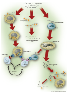 Overall schematic for how the immune system attacks B. burgdorferi