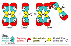 Allosterically inactive oligomers associated with PAH mutations leads to aggregation and thus enzymatic dysfunction.