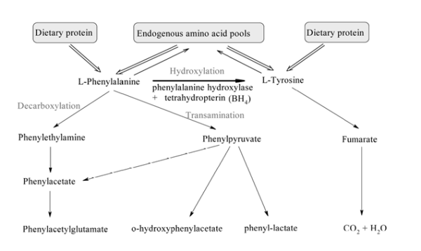 PAH dysfunction leads to over accumulation of phenylalanine. Phenylalanine then prodeuces phenylketones via decarboxylation and transamination reactions.